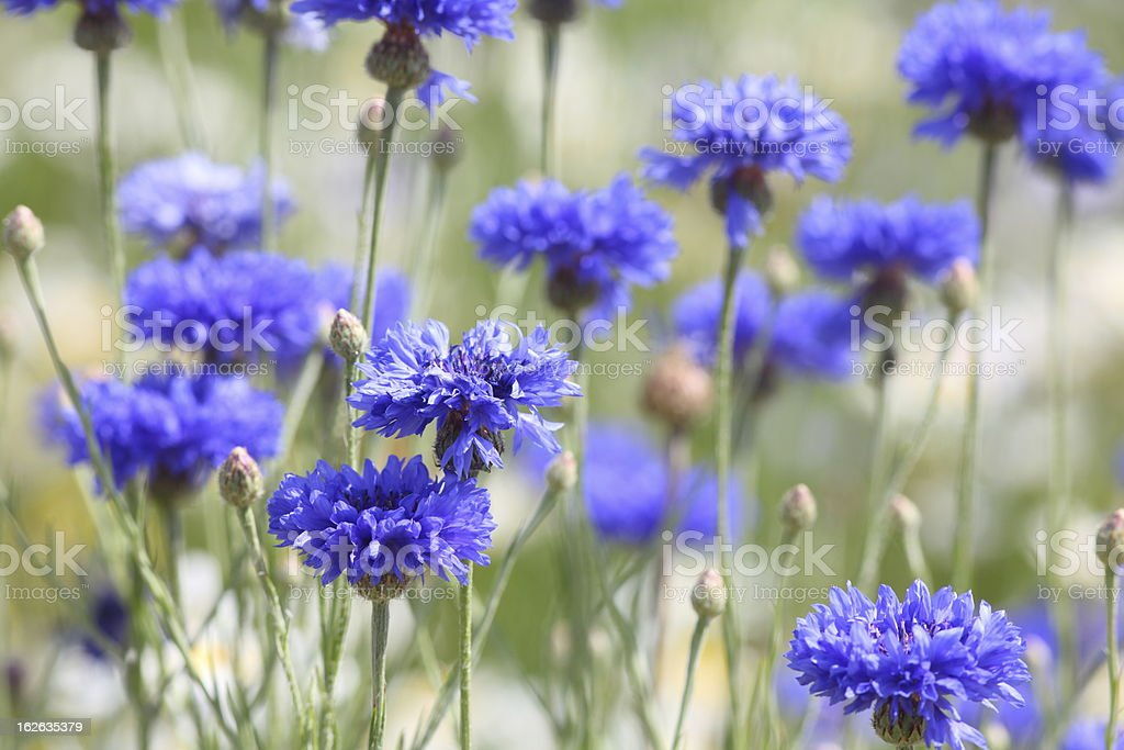 summer meadow with blomming blue cornflower stock photo