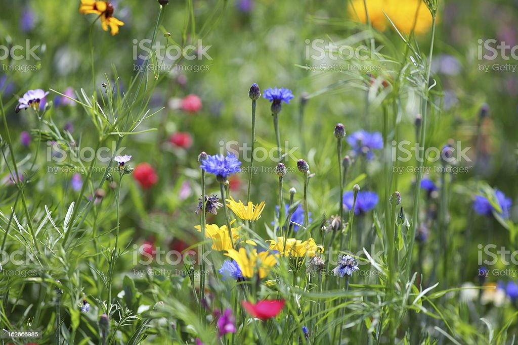 summer meadow with blue blooming corn flowers royalty-free stock photo