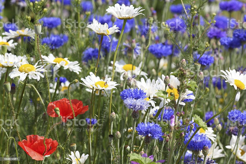summer meadow with blue corn flowers and poppys royalty-free stock photo