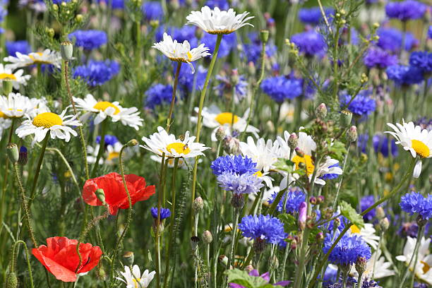 Sommer-Wiese mit Blumen und poppys blue Mais – Foto
