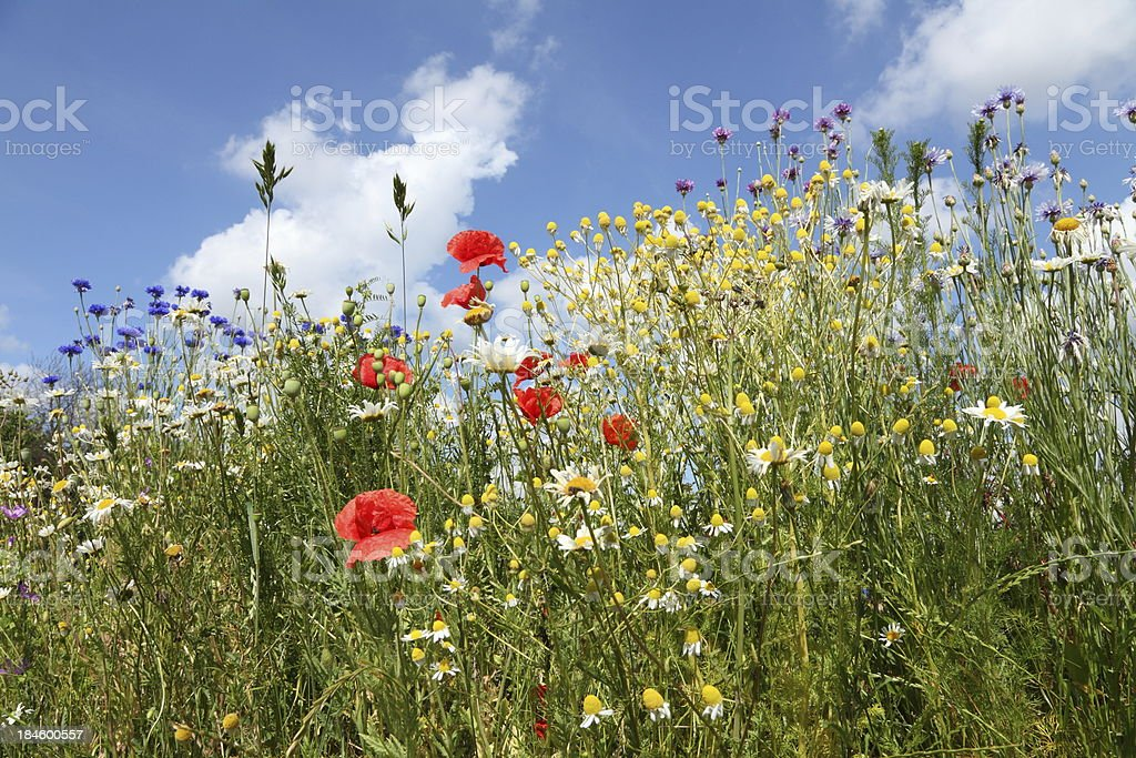 summer meadow with cornflower poppy camomile and blue sky royalty-free stock photo