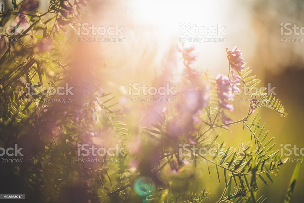 Summer meadow with fetch in evening sunlight stock photo