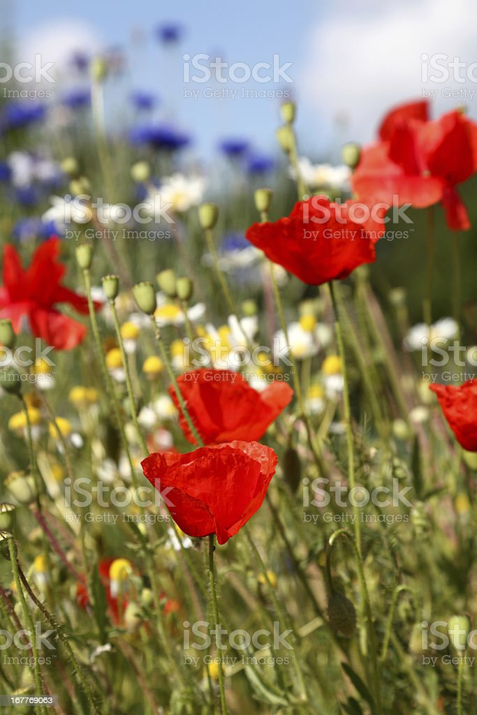 summer meadow with poppy cornflower chamomile royalty-free stock photo
