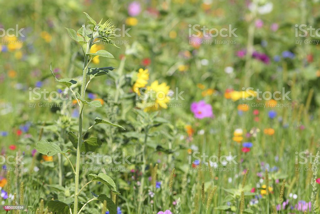 summer meadow with sunflower royalty-free stock photo