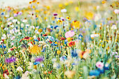 Summer meadow with vibrant wildflowers