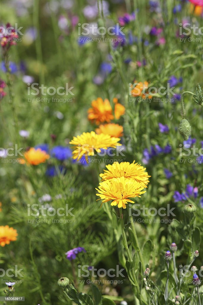 summer meadow with yellow dandelion royalty-free stock photo