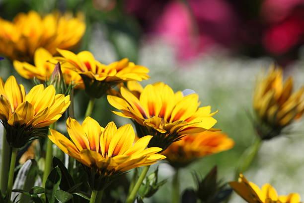 Sommer-Wiese mit gelben Compositae – Foto