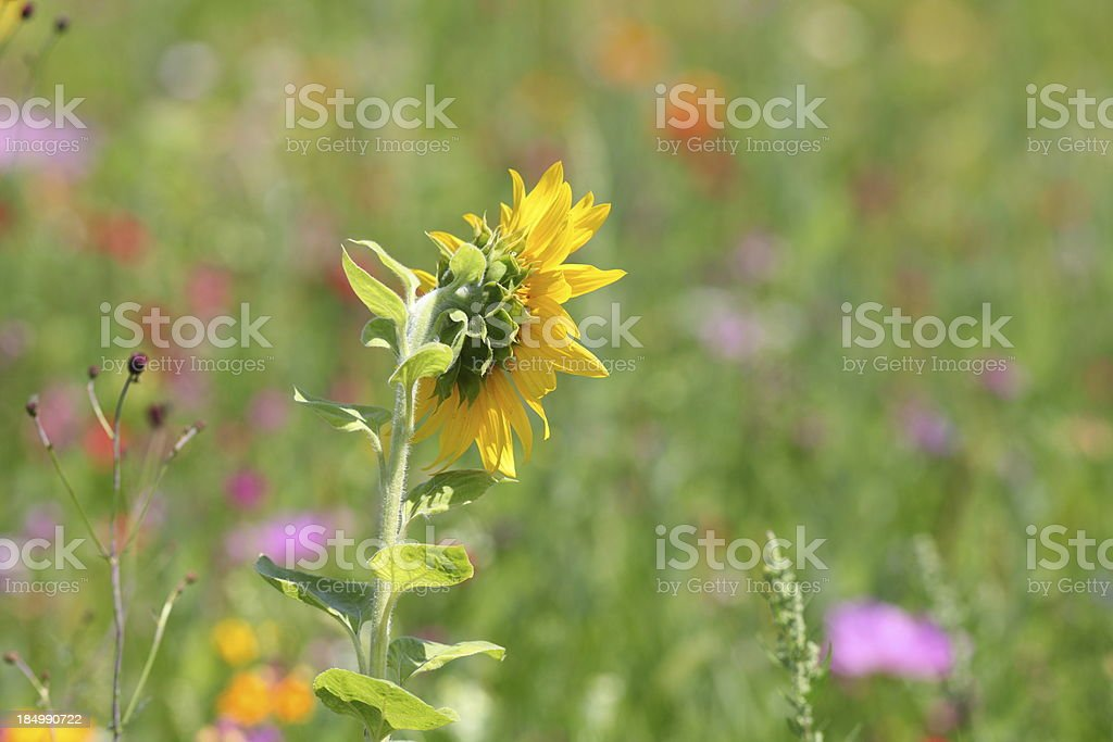 summer meadow with yellow sunflower royalty-free stock photo
