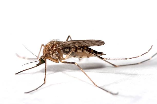 Summer mosquito close-up Colorado copy space stock photo