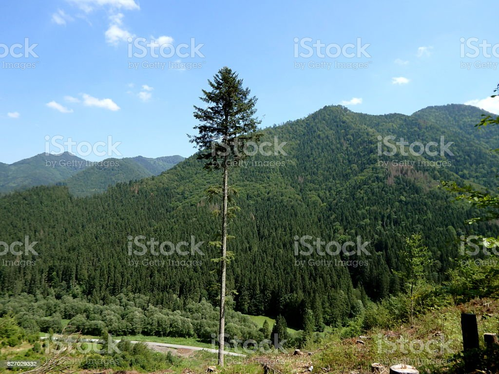 Summer mountain landscape with big fir tree stock photo
