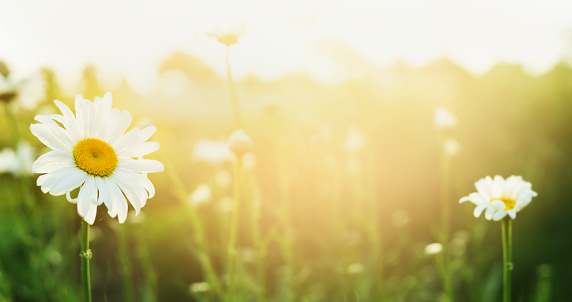 Summer nature background with daises and sunlight, banner for website