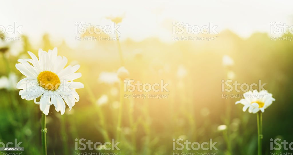 Summer nature background with daises and sunlight, banner for website stock photo