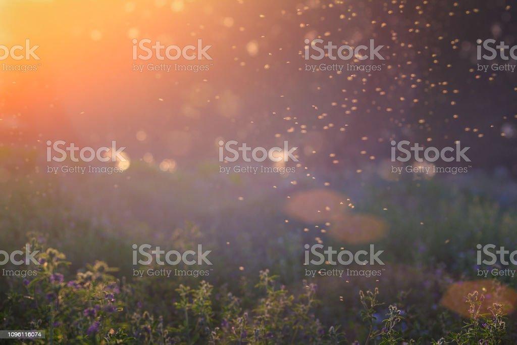 Sommer-Natur. Landschaft der Wiese bei Sonnenuntergang. Hintergrund mit Bokeh Licht. Transparente Spalten von Mücken über hohe Gräser vor der Sonne – Foto