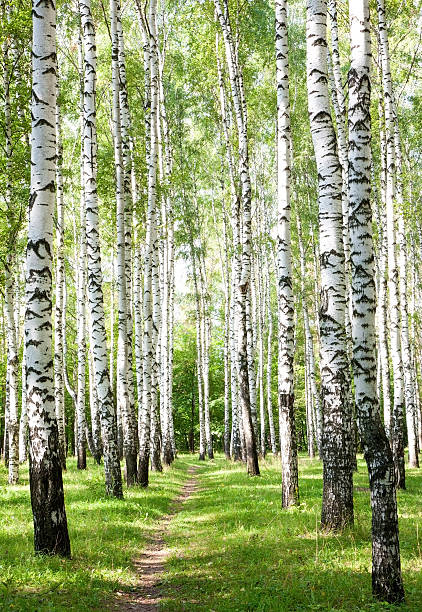 Summer pathway in the sunny birch forest – Foto