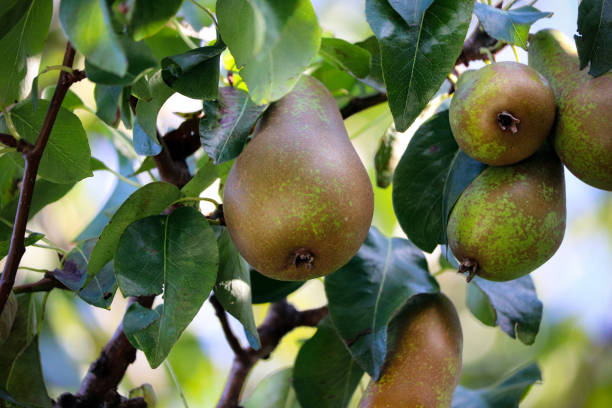 Summer pears growing on a tree stock photo