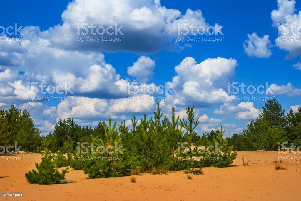 summer pine forest among a sandy desert stock photo
