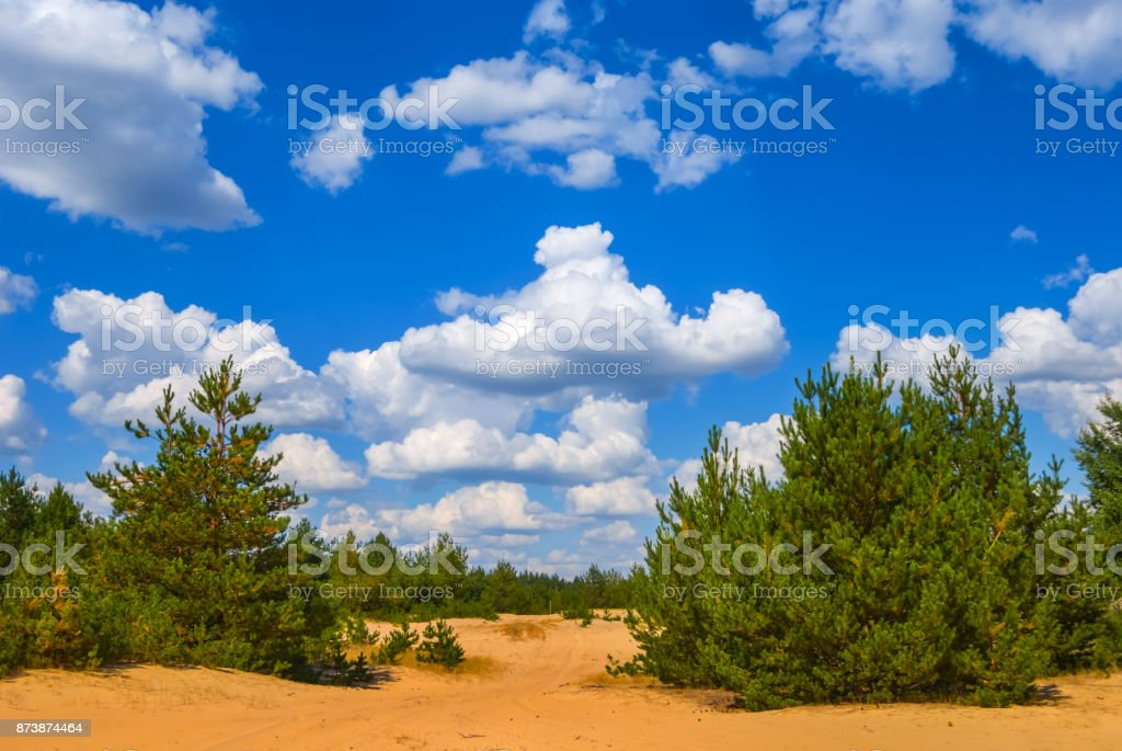 summer pine tree forest on a sand stock photo