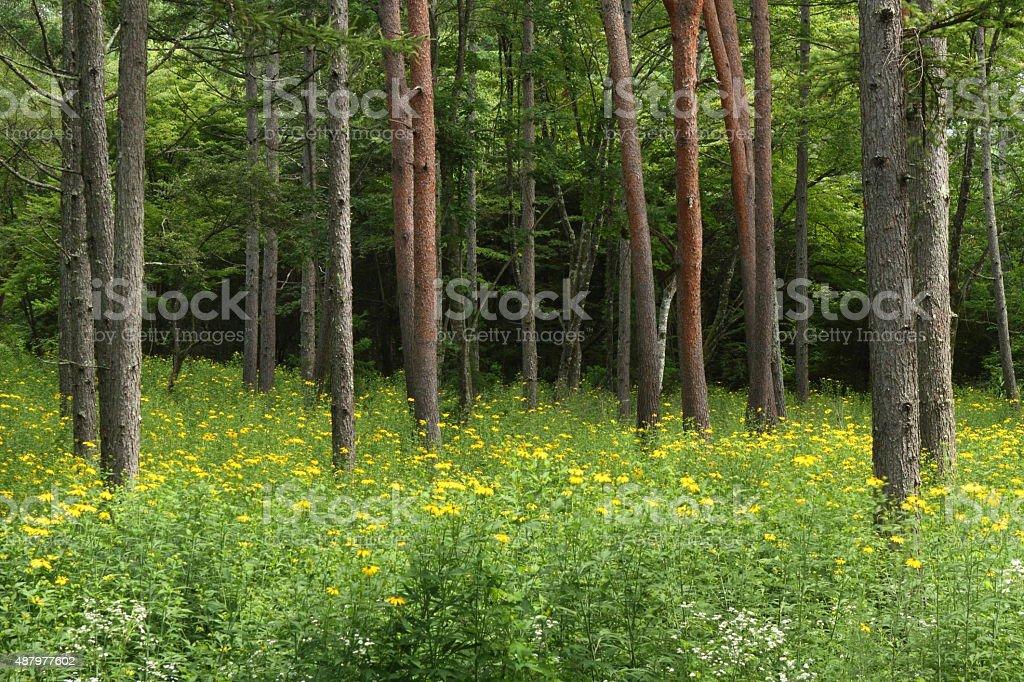 夏の松の森 ロイヤリティフリーストックフォト