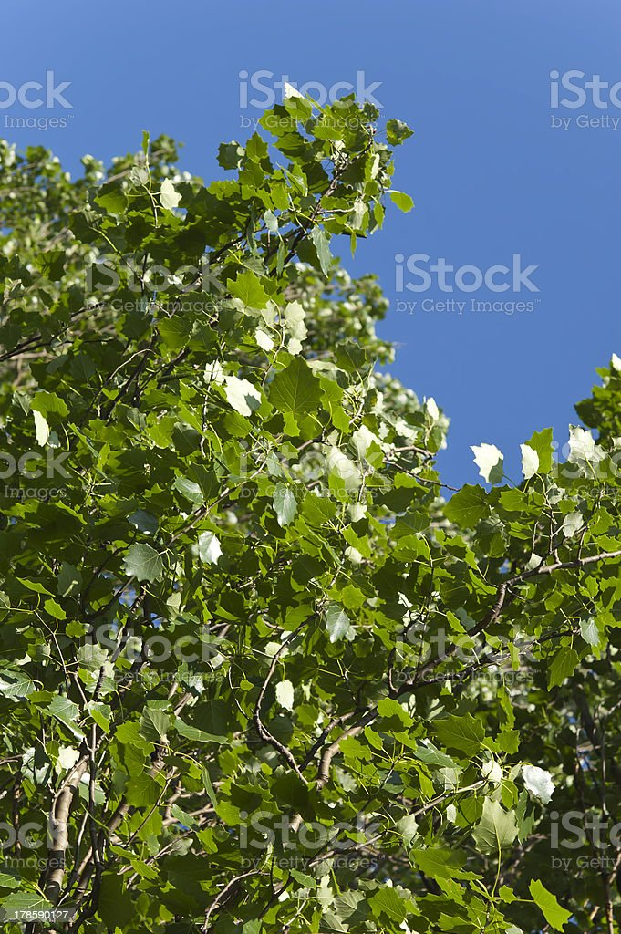 summer, poplar leaves at blue sky royalty-free stock photo