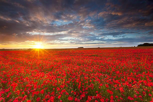 sommer poppies bei sonnenuntergang - mohn stock-fotos und bilder