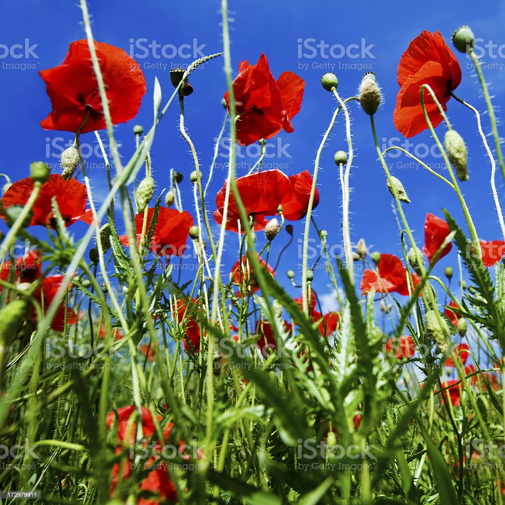 summer poppies royalty-free stock photo