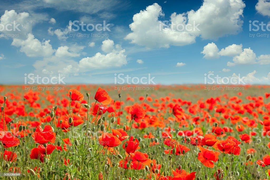 Summer poppy field landscape with blue sky and clouds stock photo