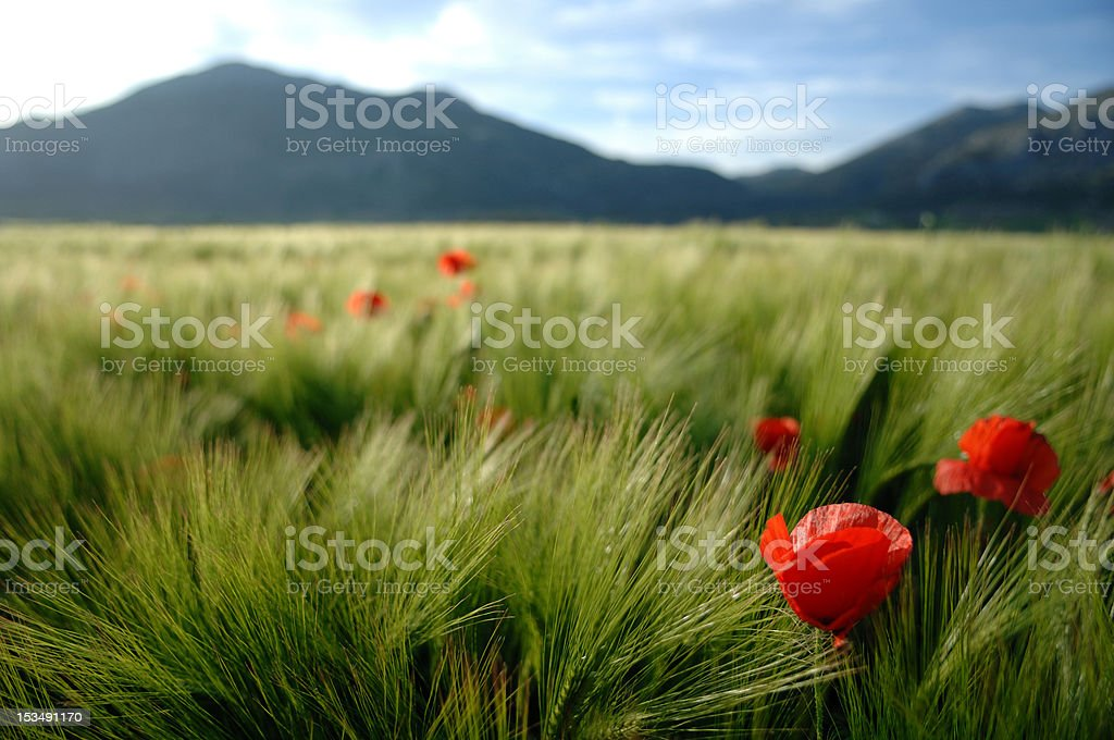 Summer Poppy royalty-free stock photo