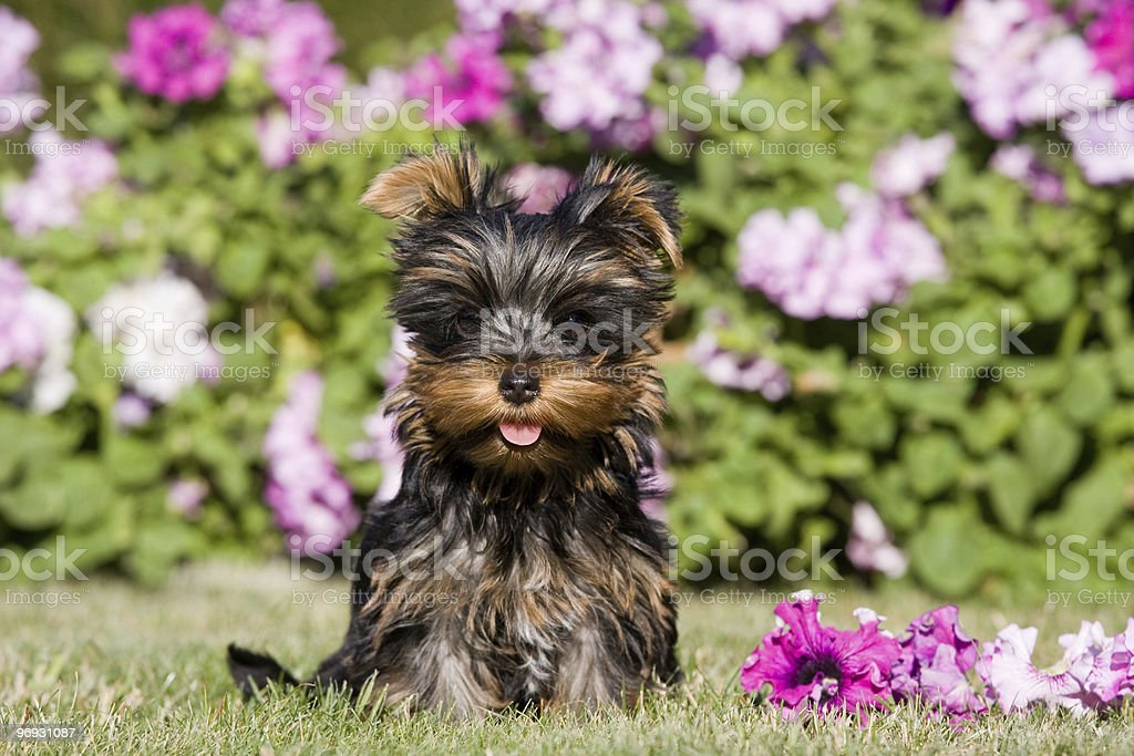 Summer portrait of beautiful yorkshire terrier royalty-free stock photo