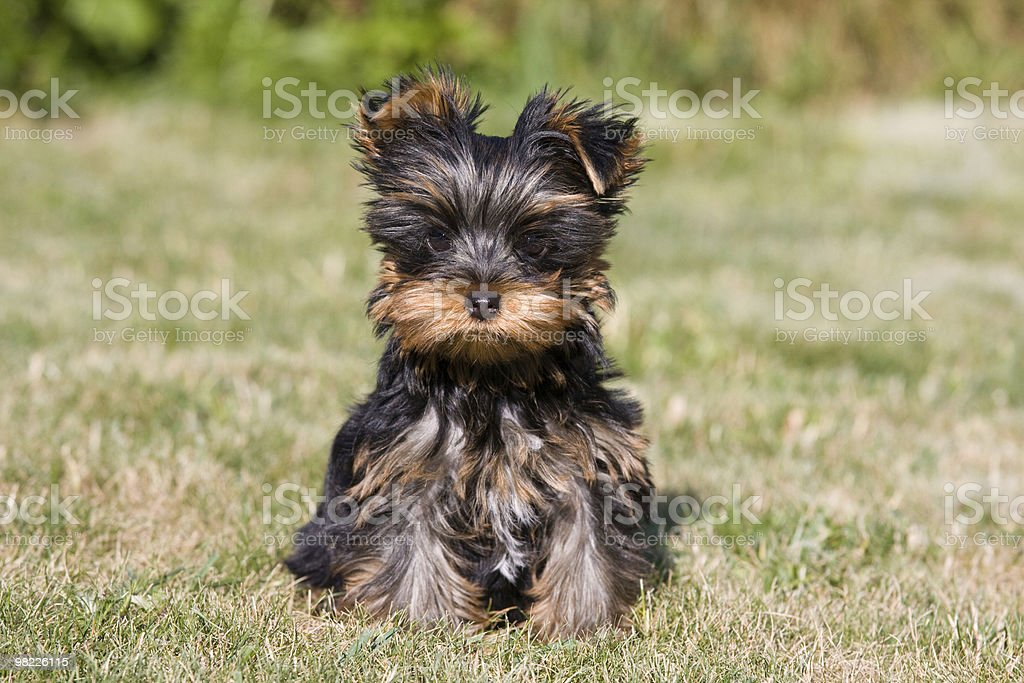 Summer portrait of sitting yorkshire terrier - puppy royalty-free stock photo