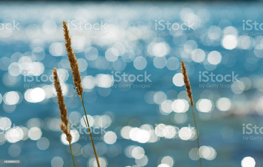 Summer Reeds Against Glittering Sea stock photo