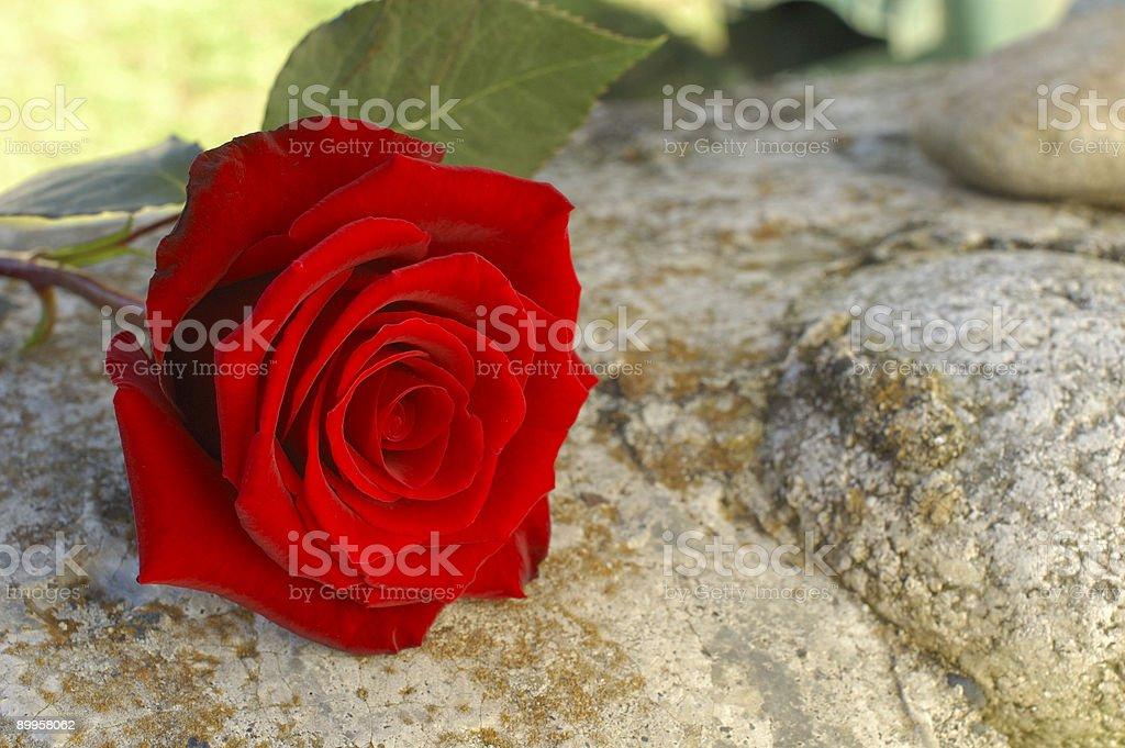 Summer Rose royalty-free stock photo