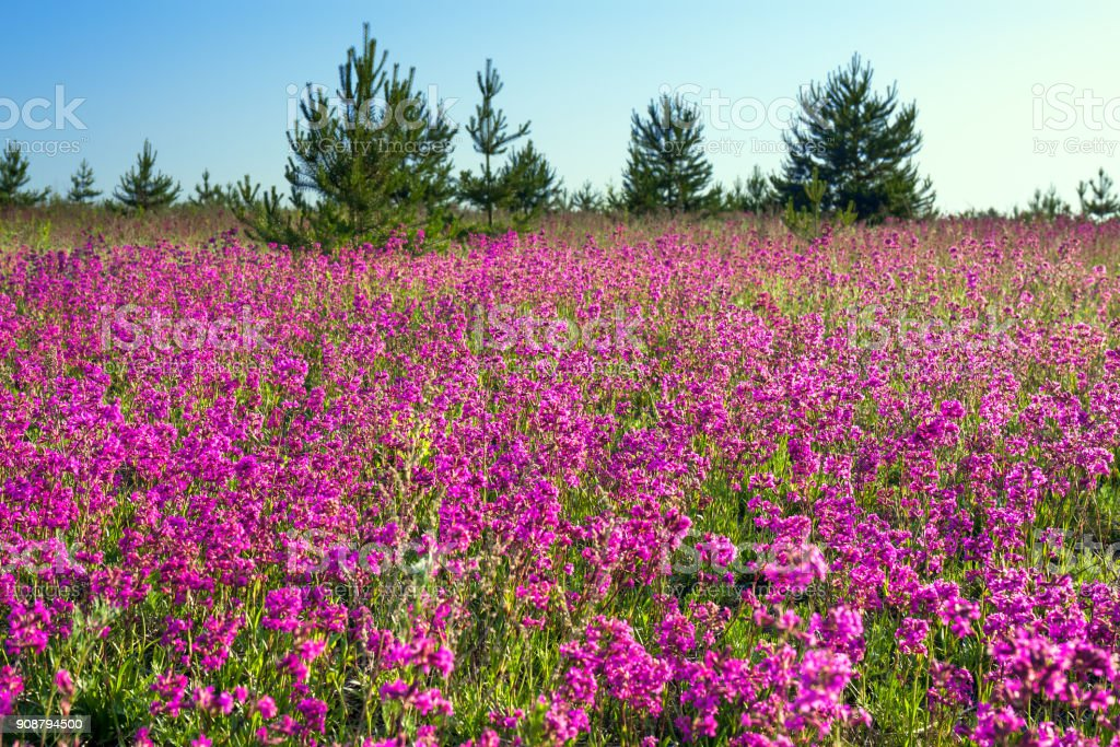 Summer Rural Landscape With Purple Flowers On A Meadow Stock Photo