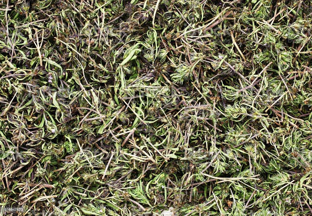 Pfefferkraut herb ist Trocknen – Foto