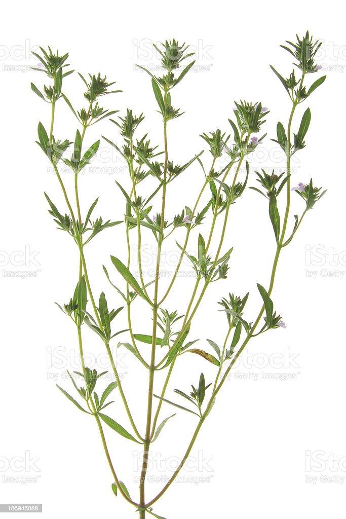 Pfefferkraut (Satureja hortensis) – Foto