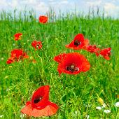 Summer scarlet poppy flowers field.