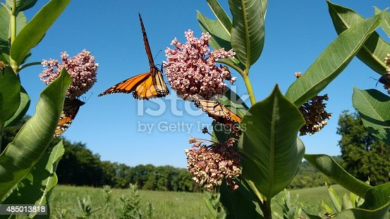 milkweed and monarch butterflies of summertime