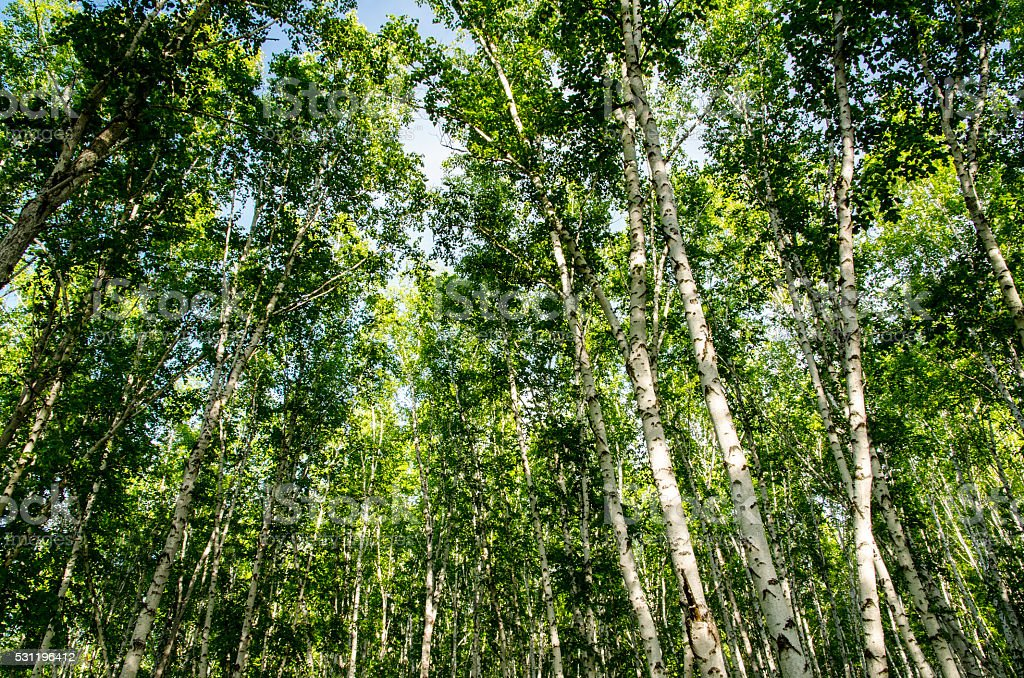 Summer silver birch forest, Mongolia, China stock photo