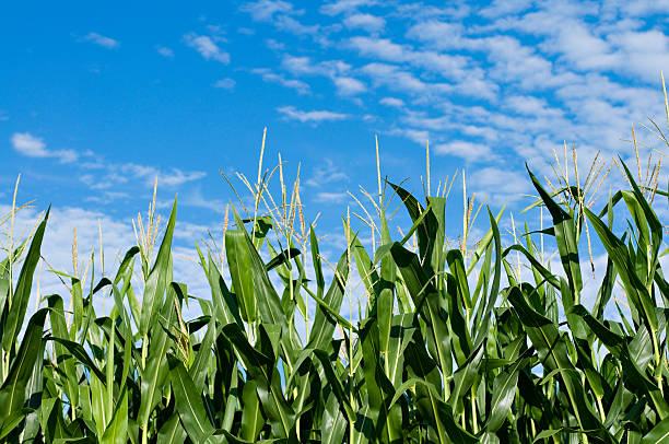 Summer sky and corn stock photo
