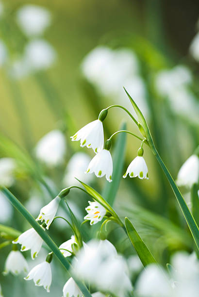 summer snowflake flowers - i - snowdrop stock pictures, royalty-free photos & images