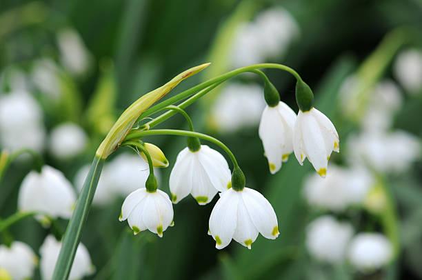 sommer schneeflocken blumen (leucojum aestivum) - leucojum stock-fotos und bilder