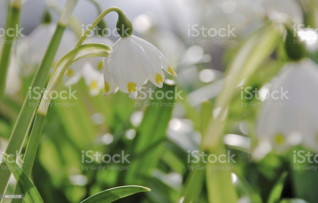Summer Snowflake flowers royalty-free stock photo
