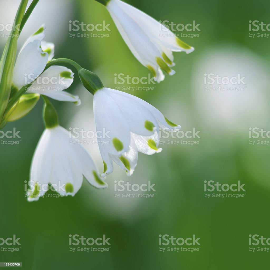 Summer Snowflake flowers - XIII royalty-free stock photo