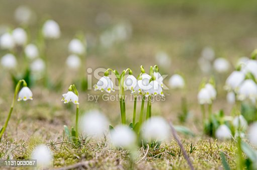 Blooming field of snowdrop flowers,  Affectionate, Climate