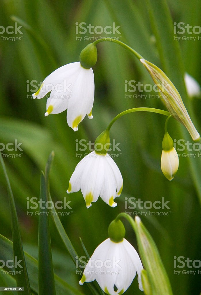 Summer Snowflake stock photo