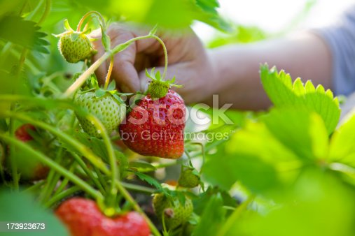 Macro of succulent home-grown organic strawberries being hand picked in the vegetable garden.