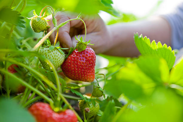Summer Strawberry Picking Macro of succulent home-grown organic strawberries being hand picked in the vegetable garden. crop plant stock pictures, royalty-free photos & images