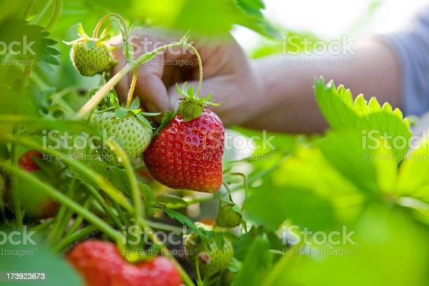 Summer Strawberry Picking Stockfoto en meer beelden van Aardbei