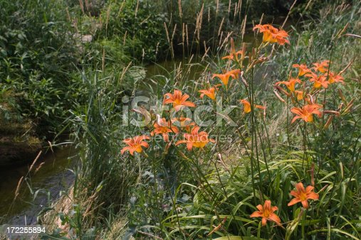 Day lilies near a small stream. Summer in Lancaster PA.
