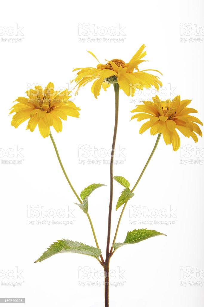 Summer Sun in latin Heliopsis helianthoides var.scabra 'Venus' royalty-free stock photo