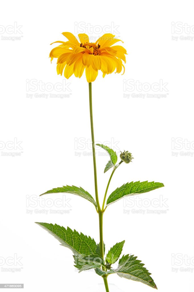 Summer Sun in latin Heliopsis helianthoides var.scabra 'Venus' royalty-free stock photo